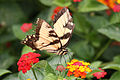 Tiger Swallowtail perched.jpg