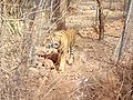 Tiger image - Van Vihar National Park.jpg