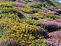 TomCorser Heather Gorse2.jpg