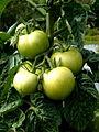 Tomate Hoffmanns Rentita P1020502.JPG