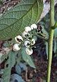 Tournefortia heyneana 05.JPG