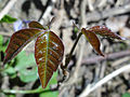 Toxicodendron radicans 01674.jpg