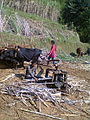 Traditional way of ploughing field using oxen.jpg
