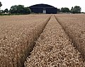 Tramlines in the Wheat - geograph.org.uk - 922200.jpg