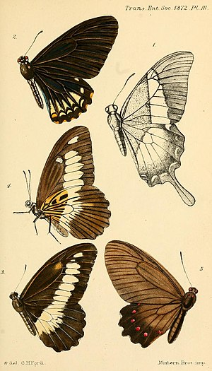 Parides burchellanus - Figure 5