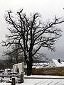 Traubeneiche (Quercus petraea), Olbernhau (1).jpg
