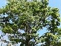 Tree, Brownsberg 3.JPG