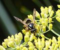 Tree Wasp - Dolichovespula sylvestris. facial marking. - Flickr - gailhampshire.jpg