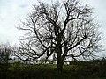 Tree by the caravan site - geograph.org.uk - 739302.jpg