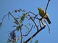 Treron phoenicopterus -central India-8.jpg