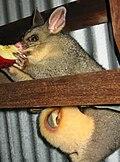 Trichosurus vulpecula (Brushtail possum) 1.jpg