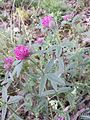 Trifolium alpestre sl3.jpg