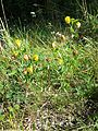 Trifolium aureum sl11.jpg
