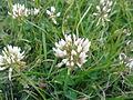 Trifolium repens à Grez-Doiceau 002.jpg
