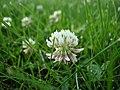 Trifolium repens macro.jpg