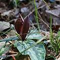 Trillium underwoodii flower.jpg