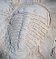 Trilobite in the sand 5 (46789950351).jpg
