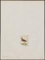 Tringa acuminata - 1820-1860 - Print - Iconographia Zoologica - Special Collections University of Amsterdam - UBA01 IZ17400237.tif