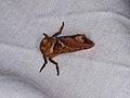 Triodia sylvina (36693839000).jpg