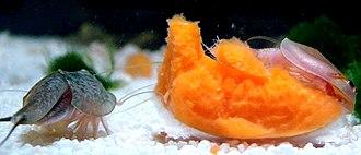 Triops - Captive Triops cancriformis (left) and Triops longicaudatus (right) feeding on carrot