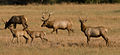 Tule Elk at San Luis Nat'l Wildlife Refuge (5187892760).jpg