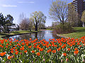 Tulip pond.jpg