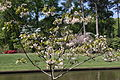 Tung Oil Tree (Vernicia fordii) (5713109855).jpg
