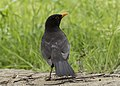 Turdus merula - Common blackbird 02.jpg