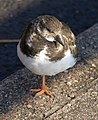 Turnstone, Preston - geograph.org.uk - 1745491.jpg