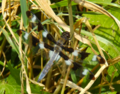 Twelve spotted skimmer dragonfly looks blue, flashes when it flies (9387660094).png