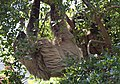 Two toed Sloth 4 (4871852443).jpg
