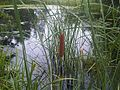 Typha latifolia 2 - wetland.jpg