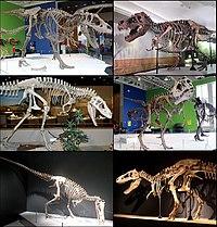 Tyrannosauridae Diversity.jpg