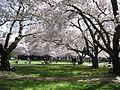 UW Cherry Blossoms.jpg