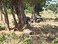 Udawalawe National Park - උඩවලව ජාතික උද්යානය 2012 - panoramio (9).jpg