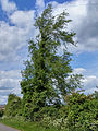 Ulmus minor 'Plotii' Laxton Northamptonshire.jpg