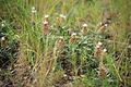 Un sol de pinède couvert de leuzées.JPG