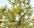 Utah juniper cones 2.jpg