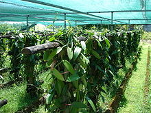 Description: https://upload.wikimedia.org/wikipedia/commons/thumb/8/82/Vanilla_fragrans_3.jpg/220px-Vanilla_fragrans_3.jpg
