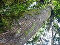 Vegetación de la Reserva de la Biosfera La Amistad Panama (RBLAP) 37.JPG