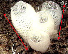 Venus Flower Basket (sponge-labelled).JPG
