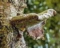 Versteende berkendoder (Piptoporus betulinus). 16-07-2020 (d.j.b.) 01.jpg
