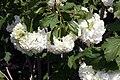 Viburnum opulus Roseum 5zz.jpg