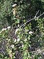 Viburnum tinus Habitus 2010-4-08 SierraMadrona.jpg