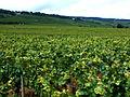 Vignes Bourgogne 1.jpg
