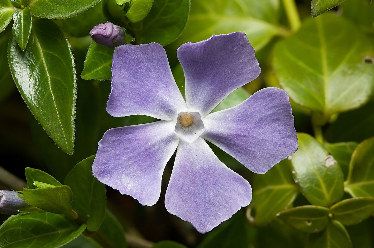 vinca major  wikipedia, Natural flower