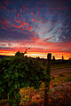 Vineyard Sunset (14920604135).jpg