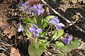 Viola collina (Hügel-Veilchen) IMG 36663.JPG