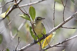 Mangrove vireo species of bird