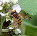 Volucella inanis - Flickr - gailhampshire (7).jpg